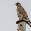 JAKTFALK, 2K GYR FALCON 2nd YEAR<br /> TROMS NORWAY