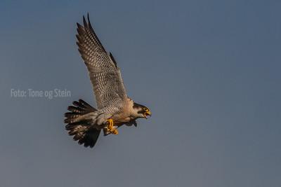VANDREFALK, falco peregrinus; norway; peregrine falcon