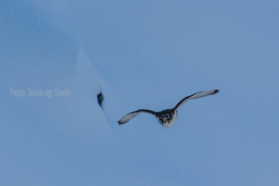 Jaktfalk; gyr falcon;  Troms norway;