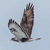 Fjellvåk; buteo lagopus; buzzard; norway