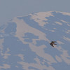 JAKTFALK på kvaløya, Tromsø. Gyr falcon