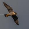 VANDREFALK falco peregrinus, norway, peregrine falcon