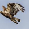 FJELLVÅK Rough-legged buzzard