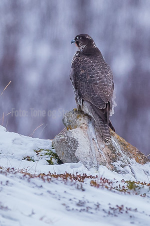 JAKTFALK, Gyr falcon, Troms, NORWAY