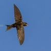 Tårnseiler, Eurasian Swift, Kreta