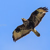 Common buzzard, Crete