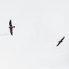 Aftenfalk, Red-footed Falcon, Chania, Kreta
