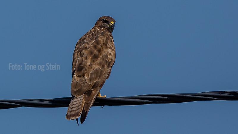 Common buzzard, Crete
