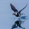 Havelle, hann, Long-tailed Duck, Tromsø, Norway