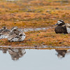 HAVELLE LONG-TAILED DUCK svalbard