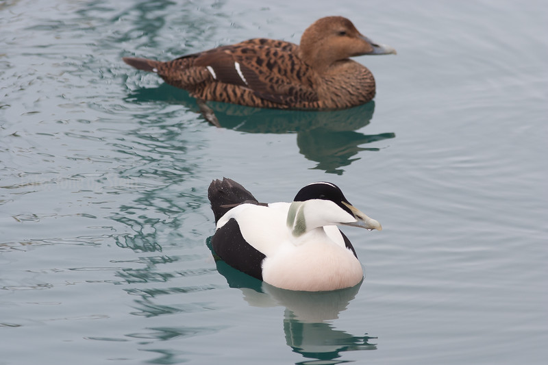 Ærfugl, Common Eider, Norway