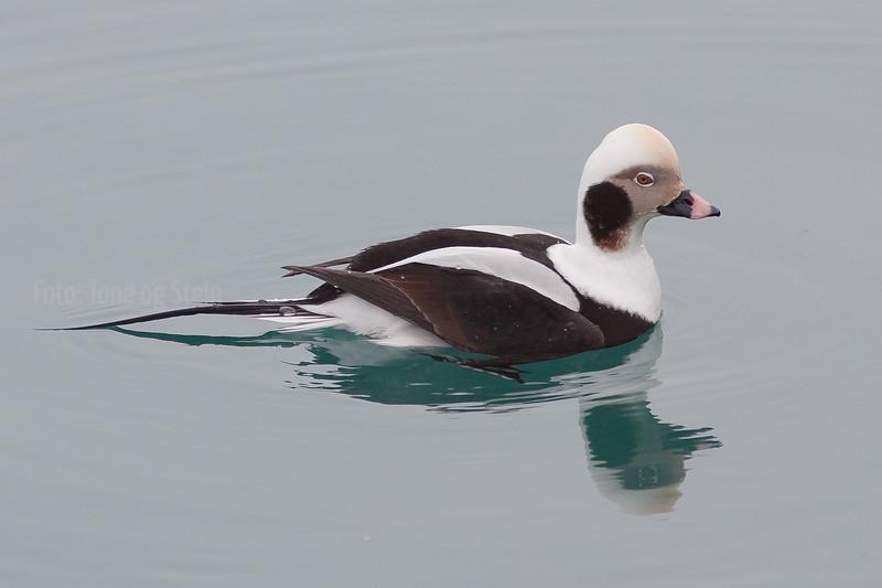 Havelle hann Long-tailed Duck Vadsø Finnmark