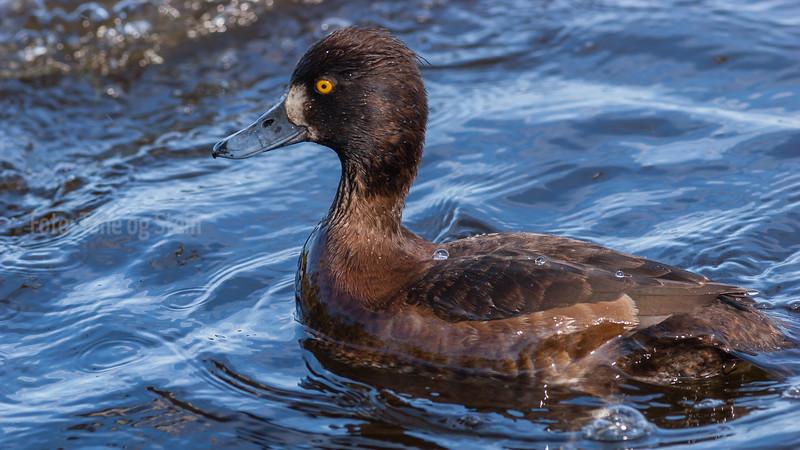 toppand; tromsø; tufted duck