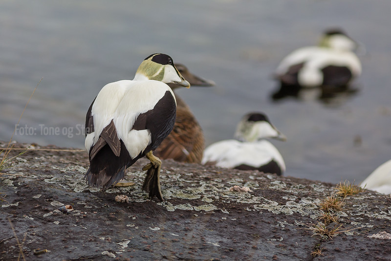 Ærfugl Common Eider
