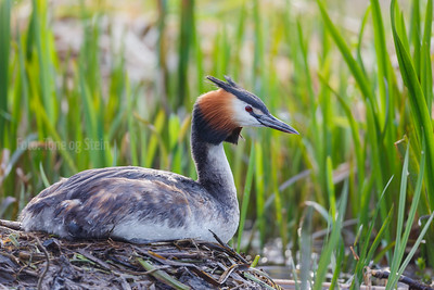 TOPPDYKKER Crested grebe Oslo Norway