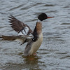 SILAND, Red-breasted merganser, troms, Norway