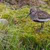 DUNLIN, MYRSNIPE, SVALBARD, Calidris alpina arctica