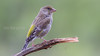 greenfinch; grønnfink; hunn; straumsbukta