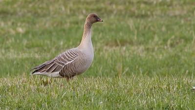 Kortnebbgås Pink-footed goose