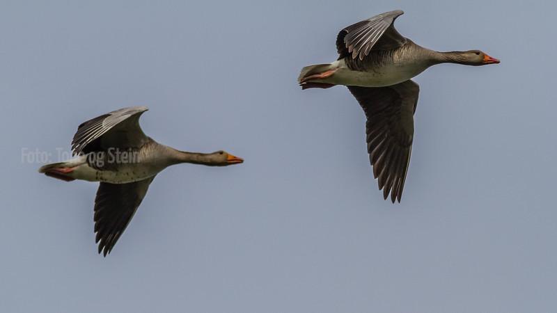 Grågås Greylag goose