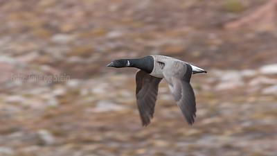 Ringgås Brent goose Svalbard