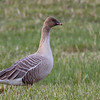 KORTNEBBGÅS pink-footed goose