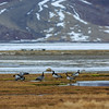 Hvitkinngås ,barnacle goose; bird;  norway; svalbard