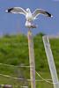 Pair bonding<br /> Fiskemåke, common gull,tromsø, norway