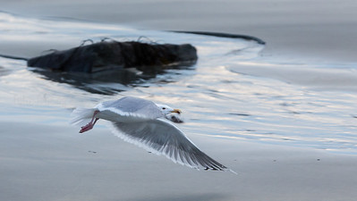 Gråmåke, Herring gull, Larus argentatus, Norway