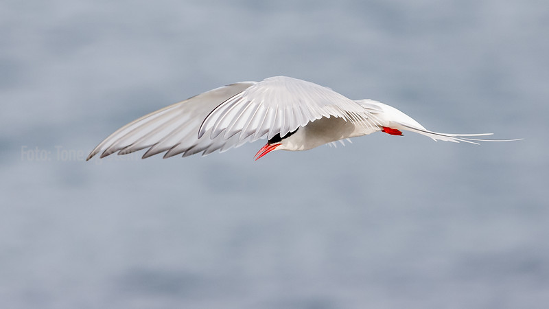 Rødnebbterne, Sterna paradisea, Arctic Tern, Norway