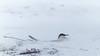Fjelljo, Long-tailed Skua, Dividal, Norway
