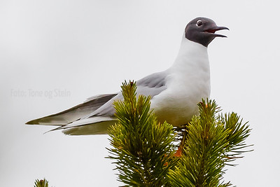 KANADAHETTEMÅKE BONAPARTE'S GULL troms Norway