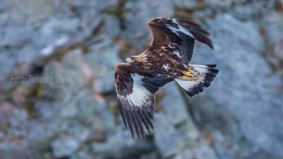 Kongeørn Golden eagle Norway