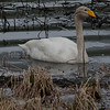 sangsvane whooper swan Norway