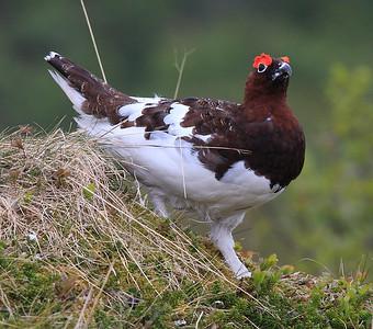 Non-passerine Land Birds