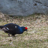 Orrfugl, orrhane,black grouse tromsø