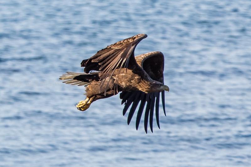 HAVØRN; Whitetailed Eagle; haliaeetus albicilla; troms