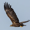 HAVØRN WHITE-TAILED EAGLE  NORWAY