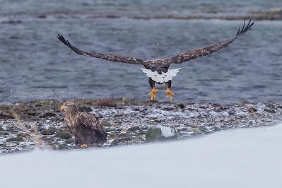 HAVØRN; Tromsø; eagle; whitetailed eagle