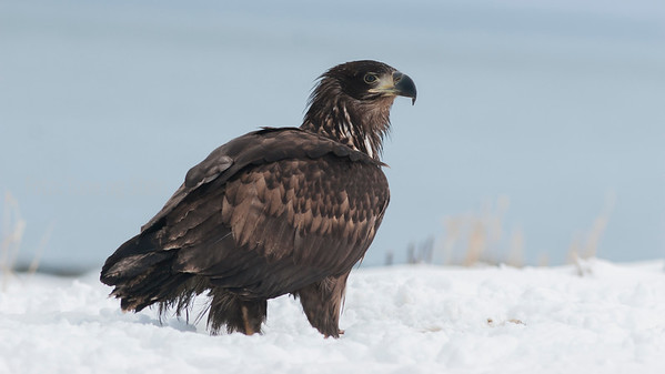 HAVØRN; Whitetailed Eagle; haliaeetus albicilla; troms