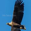 HAVØRN; Whitetailed Eagle; balsfjord; haliaeetus albicilla; troms