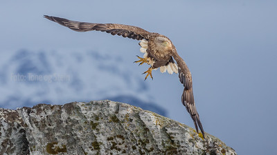 HAVØRN, WHITE-TAILED EAGLE,  NORWAY