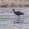 Bronseibis glossy ibis (Plegadis falcinellus) Tromsø Norway