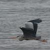 GRÅHEGRE, Grey heron, Ardea cinerea, Norway