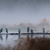Gråhegre, Grey heron, Prestvannet, Tromsø