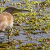 TOPPHEGRE Squacco heron, Lake Agiya, Kreta