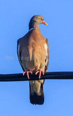 Ringdue, Common Wood Pigeon, Tromsø