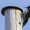 tretåspett ,  three-toed woodpecker, norway,  Straumsbukta, tromsø;
