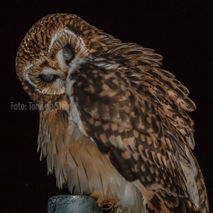 JORDUGLE,  SHORT-EARED OWL, Norway