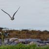 JORDUGLE,  SHORT-EARED OWL, Norway